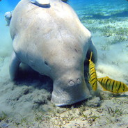 Brommi - Love the Dugong